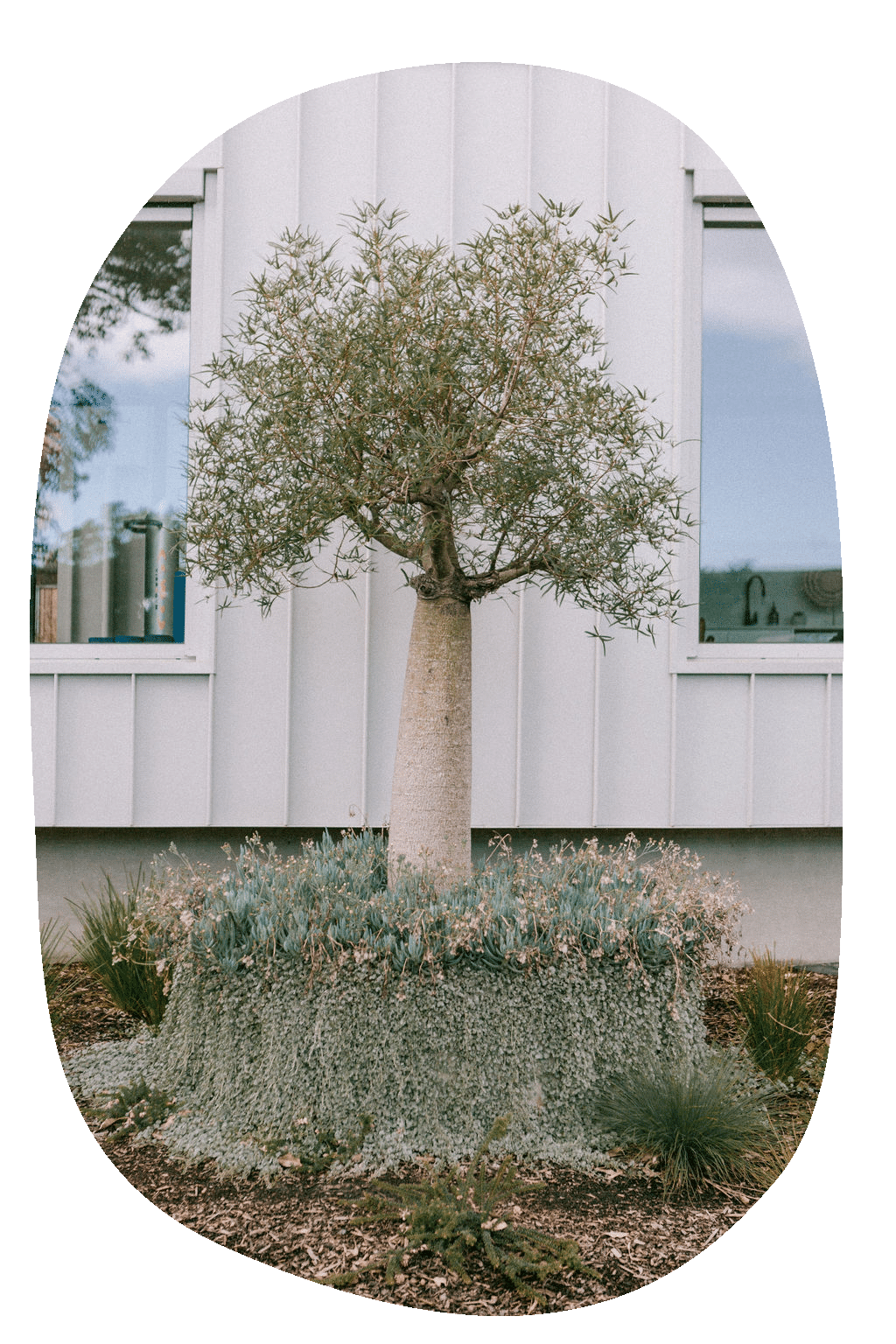 Photo of boab tree in planter with cascading plants